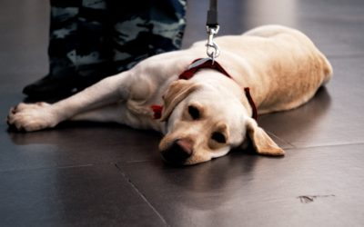 Not All Assistance Dogs Are Service Dogs