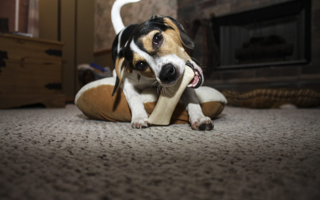 Puppies and Resource Guarding Prevention (with videos)